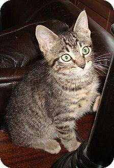 Domestic Shorthair Cat for adoption in Lansing, Kansas - Nugent