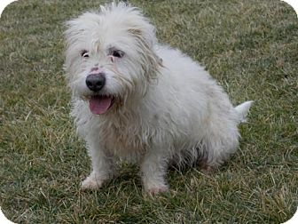 Westie, West Highland White Terrier/Terrier (Unknown Type, Medium) Mix Dog for adoption in Batavia, Ohio - Ceasar