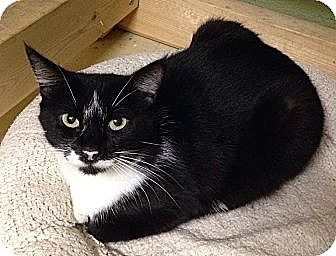 Domestic Shorthair Cat for adoption in Nashville, Tennessee - Choux