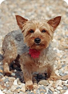 Yorkie, Yorkshire Terrier/Silky Terrier Mix Dog for adoption in Marietta, Georgia - Little Girl