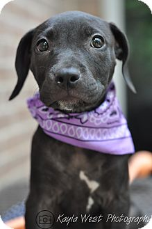 Labrador Retriever/American Staffordshire Terrier Mix Puppy for adoption in Manchester, Vermont - Belvie