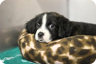 Spaniel (Unknown Type) Mix Puppy for adoption in Midland, Michigan - Gobble - STRAY
