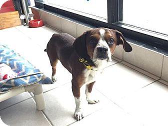 Beagle Mix Dog for adoption in Philadelphia, Pennsylvania - Eli