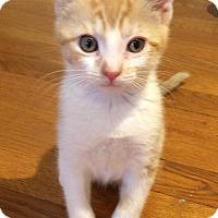 Adopt A Pet :: Siam - River Edge, NJ