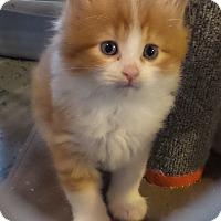 Adopt A Pet :: Sweet Potato - Geneseo, IL