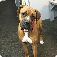 Adopt A Pet :: Cai - Reno, NV