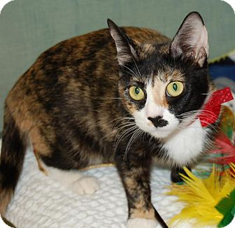 Domestic Shorthair Cat for adoption in Flower Mound, Texas - Easter
