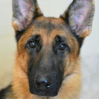 Adopt A Pet :: Drogo - Aiken, SC