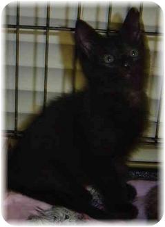 Domestic Shorthair Kitten for adoption in Naples, Florida - Coletta