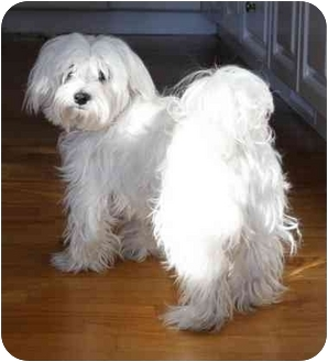 Maltese Dog for adoption in Rigaud, Quebec - Woody