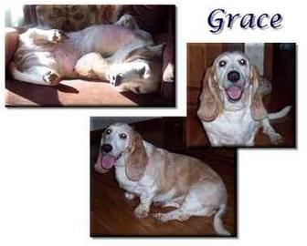 Basset Hound Dog for adoption in Marietta, Georgia - Grace