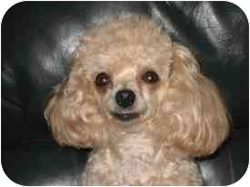 Toy Poodle Dog for adoption in Dover, Massachusetts - Lucie