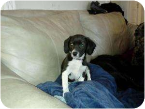 Beagle Mix Puppy for adoption in Marlton, New Jersey - Rosie