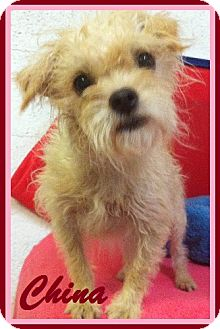 Terrier (Unknown Type, Small) Mix Dog for adoption in Davie, Florida - China