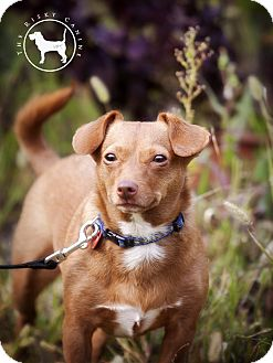 Dachshund/Chihuahua Mix Dog for adoption in Victor, Montana - Mollie  Adopted
