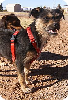 Yorkie, Yorkshire Terrier/Terrier (Unknown Type, Small) Mix Dog for adoption in Alamogordo, New Mexico - Rose