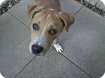 Boxer Mix Dog for adoption in hollywood, Florida - pearl