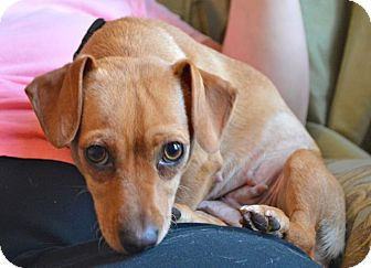 Dachshund Dog for adoption in Los Angeles, California - Penny