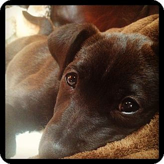Terrier (Unknown Type, Medium) Mix Puppy for adoption in Oak Lawn, Illinois - Bluebell
