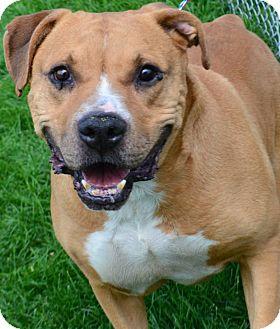 Labrador Retriever/Pit Bull Terrier Mix Dog for adoption in Fruit Heights, Utah - Sheriff
