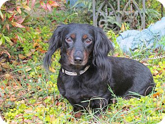 Dachshund Dog for adoption in Hartford, Connecticut - TESSA
