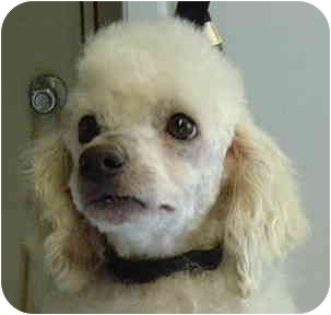 Poodle (Miniature) Dog for adoption in San Diego (all areas), California - Poupon-ADOPTED!!!
