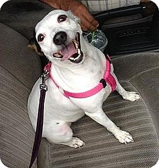 Jack Russell Terrier Dog for adoption in Miami, Florida - Mollie