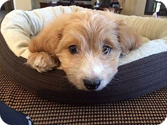Terrier (Unknown Type, Small) Mix Puppy for adoption in Mission Viejo, California - SASHA