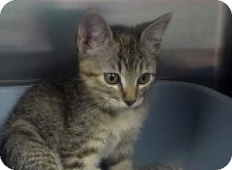 Domestic Shorthair Cat for adoption in Silver City, New Mexico - Gabie
