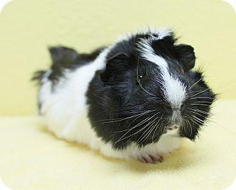Guinea Pig for adoption in Benbrook, Texas - Benny