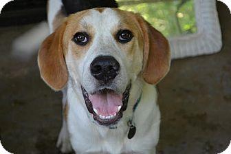 Hound (Unknown Type)/Beagle Mix Dog for adoption in Huntsville, Alabama - Biggs