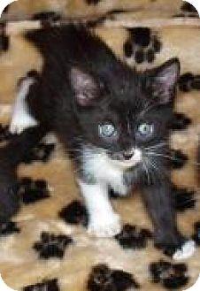 Domestic Shorthair Kitten for adoption in Jackson, Mississippi - Bernadette
