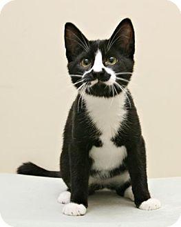 Domestic Shorthair Cat for adoption in Bellingham, Washington - Tandoori