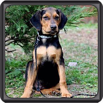 Hound (Unknown Type)/Plott Hound Mix Puppy for adoption in Spring Valley, New York - Deisel