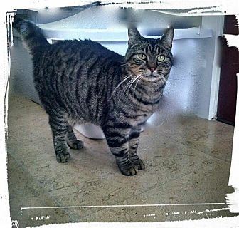 Domestic Shorthair Cat for adoption in Wanaque, New Jersey - Buzz