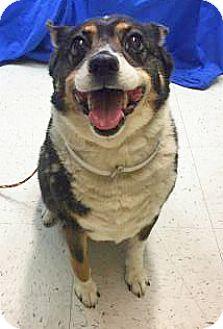 Corgi Mix Dog for adoption in Spokane, Washington - Stella