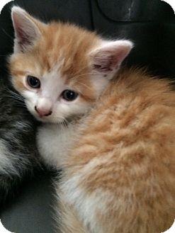 Domestic Shorthair Kitten for adoption in Dumfries, Virginia - Tucker