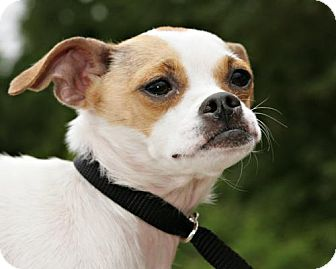 Chihuahua Mix Dog for adoption in Bellingham, Washington - Juliet