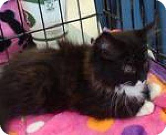 Domestic Longhair Kitten for adoption in Fenton, Missouri - Taylor