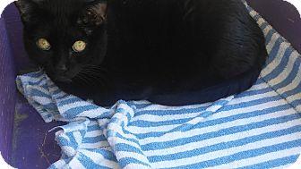 Domestic Shorthair Cat for adoption in El Cajon, California - Angel