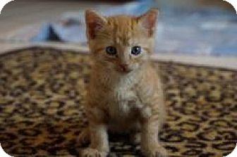 Domestic Shorthair Kitten for adoption in Union, Kentucky - Sundance