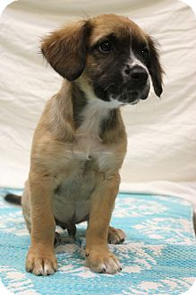 Boxer/Shepherd (Unknown Type) Mix Puppy for adoption in Allentown, Pennsylvania - Brody