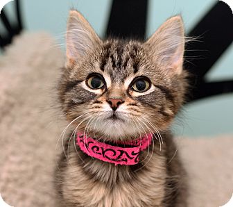 Domestic Longhair Kitten for adoption in Royal Oak, Michigan - GIZMO