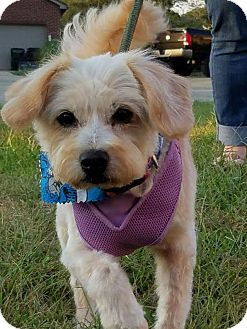 Cairn Terrier/Terrier (Unknown Type, Small) Mix Dog for adoption in Cincinnati, Ohio - Whitey
