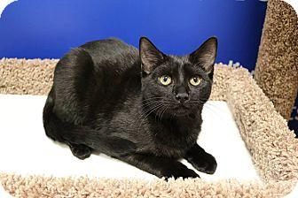 Domestic Shorthair Cat for adoption in Athens, Georgia - Samus