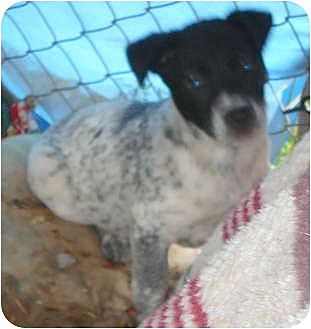 Blue Heeler/Border Collie Mix Puppy for adoption in Katy, Texas - Rascal