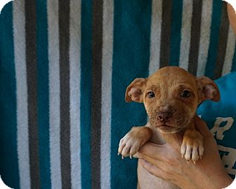 Rat Terrier/Chihuahua Mix Puppy for adoption in Oviedo, Florida - Aspen