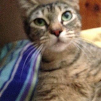 Domestic Shorthair Cat for adoption in Coos Bay, Oregon - Penny