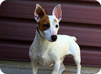 Jack Russell Terrier Dog for adoption in Los Angeles, California - Spot