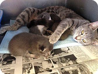 Domestic Shorthair Cat for adoption in Thomaston, Georgia - Lia & Kittens